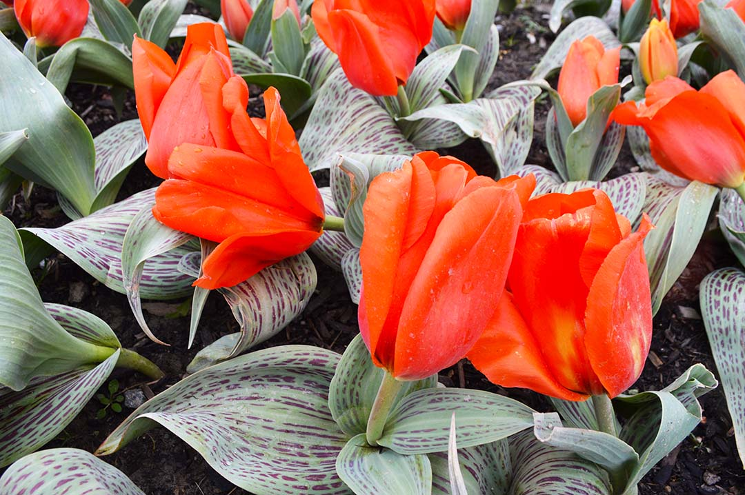 Red tulips with variegated leaves