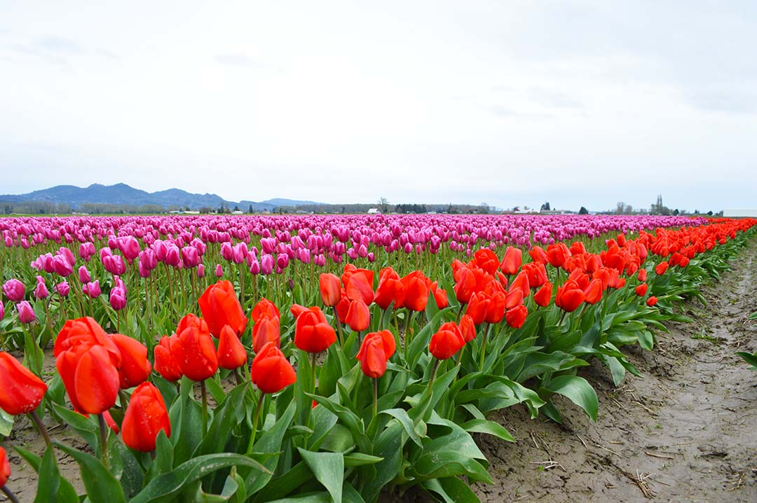 Red and purple tulips in Skagit Valley, Washington