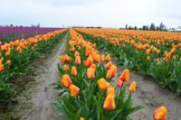 Orange and purple tulips in Skagit Valley, Washington