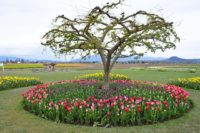 Skagit County Tulip Fields